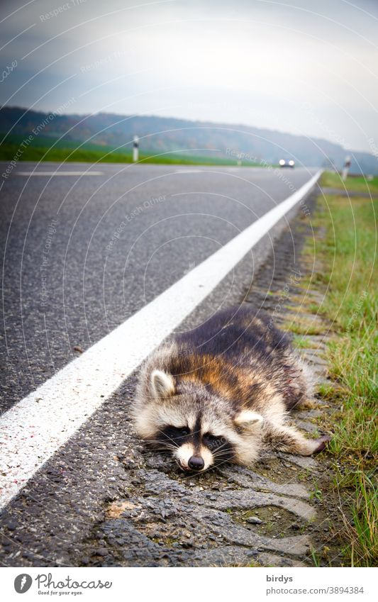 Dead raccoon lying on the side of a busy country road, moving car. Deer accident, death Raccoon wild accident dead run sb./sth. over Country road Wild Sacrifice