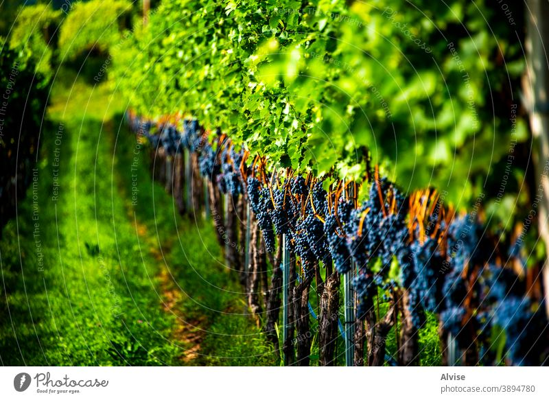 rows of vines one fruit harvest grape nature grapevine stalk green leaf ripe food plant crop blue bunch fresh background wine organic summer agriculture