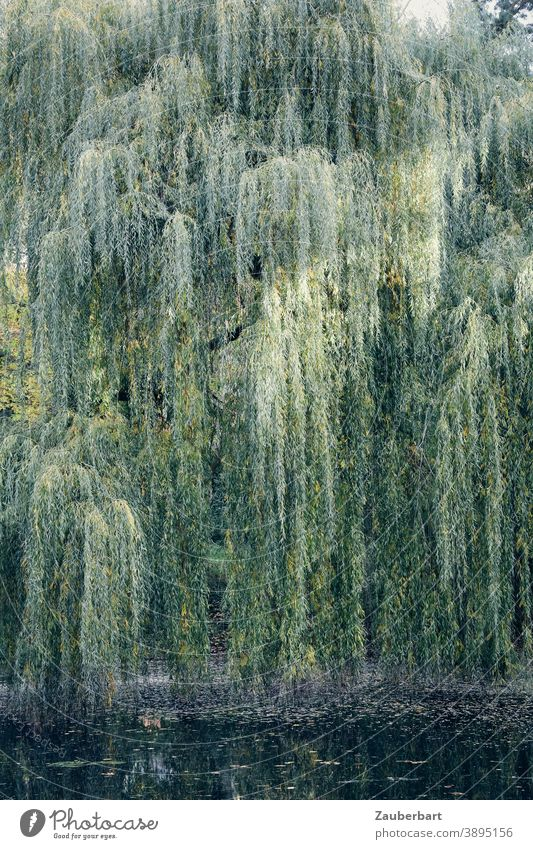 Weeping willow with hanging branches over a pond Hang twigs ponds Green Twigs and branches Tree Nature Day