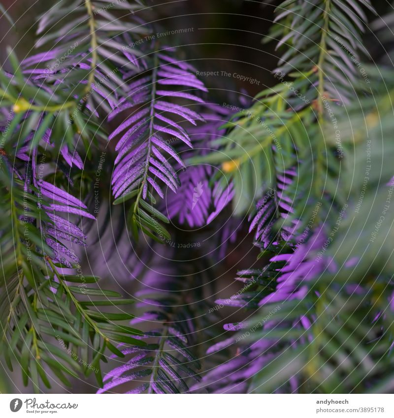 Purple colored needles on a tree close up abstract Art Background beautiful branch celebration christmas clean colorful conifer coniferous creative design