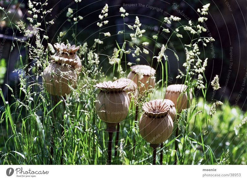 poppy Poppy Meadow Calm Craft (trade) Flower Handicraft Summer Physics Spring Beautiful Embellish Warmth
