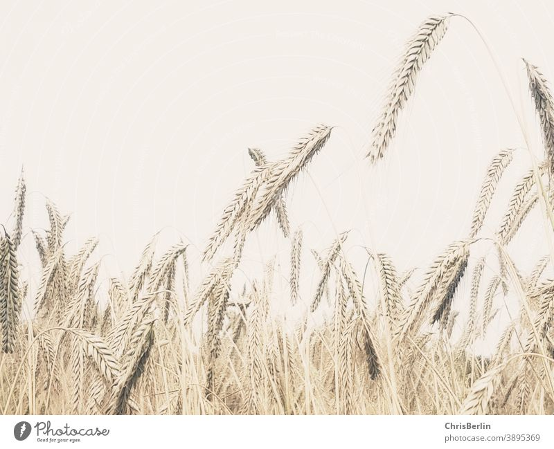 cornfield Grain Grain field pale colours Ear of corn Close-up Field Agriculture Agricultural crop Summer Nature Exterior shot Deserted Environment Cornfield