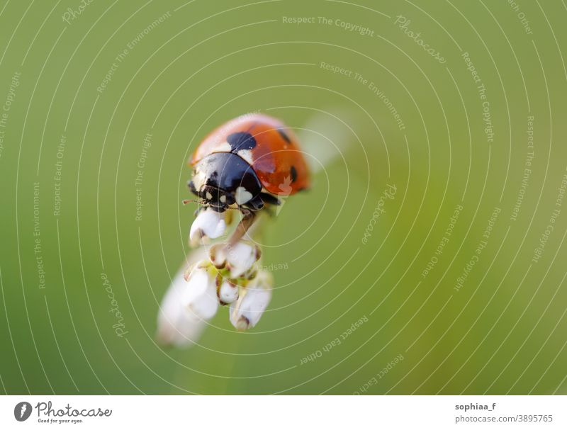 ladybug on flower bud, macro shot closeup ladybird blossom beetle field flora nature green spring dotted grass garden summer environment meadow insects animal