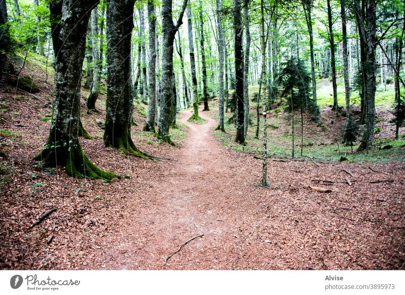 path in the lush forest leaf fall green wood tree light landscape nature foliage italy tuscany trees pathway europe casentino autumn leaves woods scenery