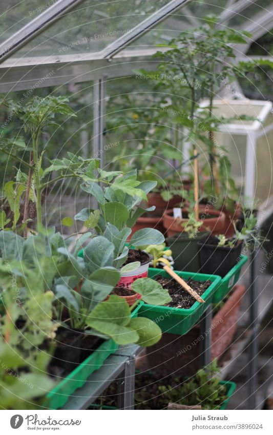Greenhouse in spring Spring seedlings tomatoes Kohlrabi Peas Red beet Pumpkin Foliage plant Gardening Horticulture plants Vegetable Pane Shelves self-grown