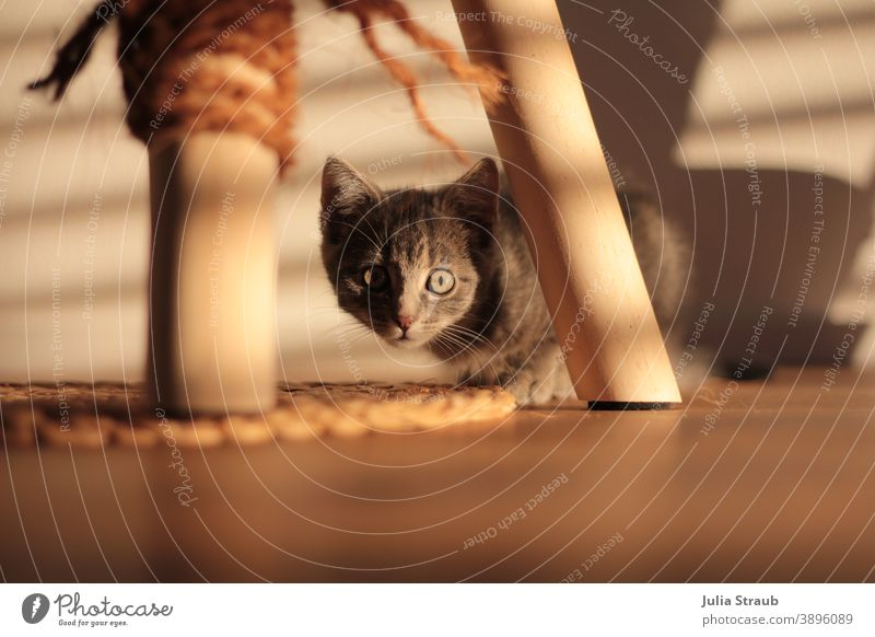 Little cat looks curiously in the shadow play under her scratching post Cat Kitten cat tree Cat eyes Shadow Plaited cord thread rope Gray-haired Green