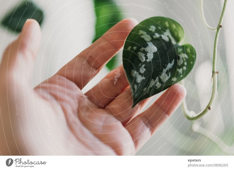 Hand holding a heart-shaped leaf of a spotted ivy / Scindapsus pictus stop scindapsus Plant Houseplant Heart Heart-shaped Love Green Green thumb at home