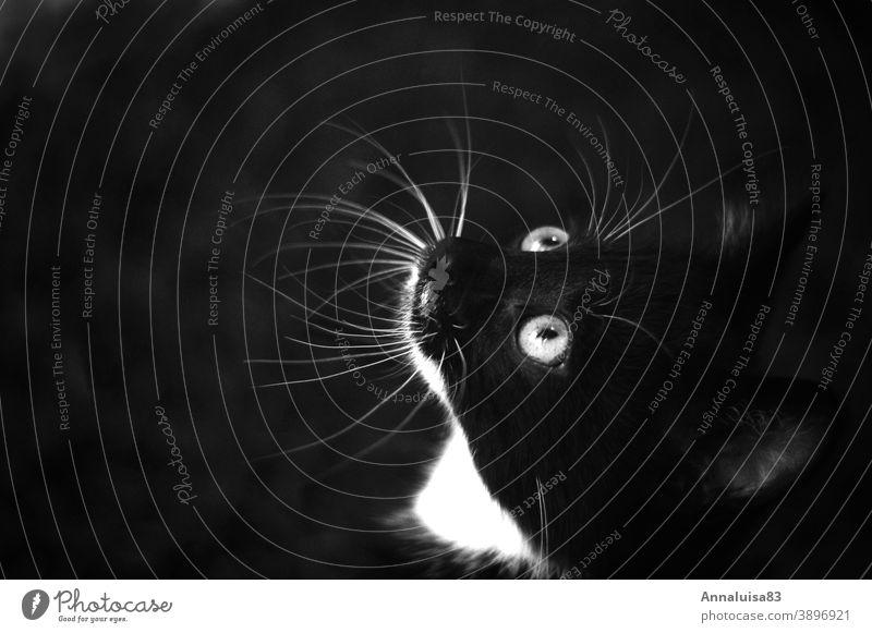 Black tomcat hangover Cat Kitten baby cat putty Pet Black & white photo eyes Cat eyes cute Love saucer-eyed Saucer-eyed Pelt Coat color Animal portrait Cute