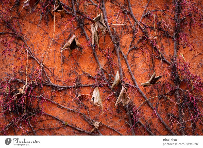 climber in autumn Autumn Autumnal climbing plant creeper foliage leaves Twig Branch Plant Nature naturally Orange Wall (building) house wall Plaster Facade