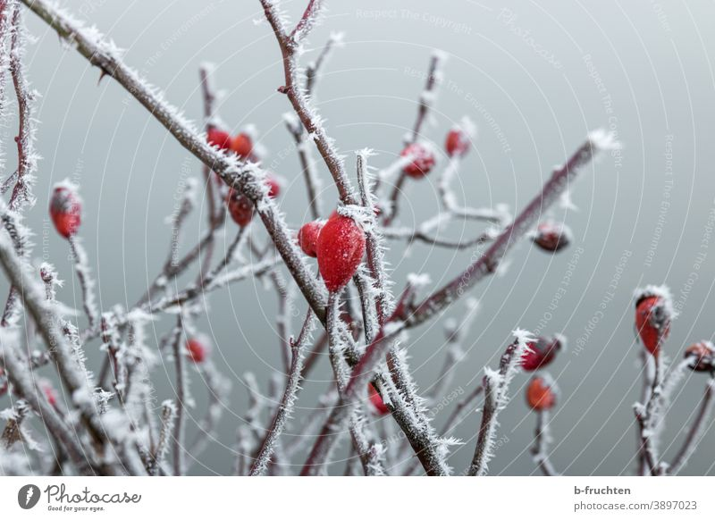 rosehip in winter, branches with ice crystals Rose hip Ice Frost Winter Cold Snow Nature Plant Frozen Ice crystal Freeze Crystal structure White