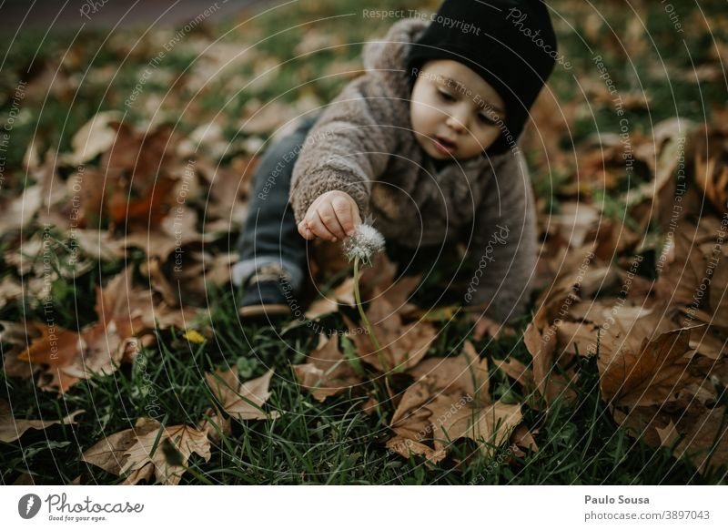 Toddler playing at with Dandelion on autumn leaves Autumn Authentic Autumn leaves Autumnal Winter fall Colour photo Child Automn wood Autumnal weather Leaf