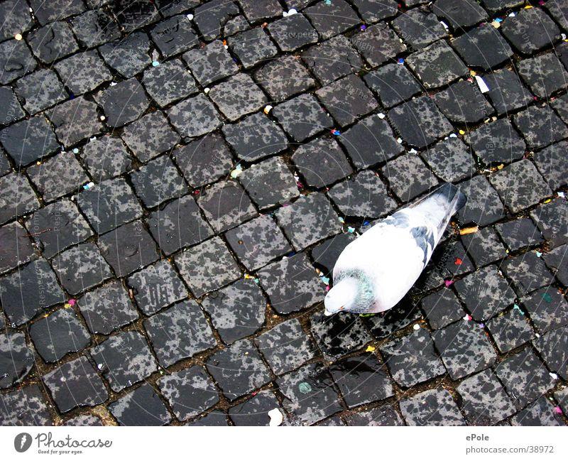 Lonely dove Pigeon Cobblestones