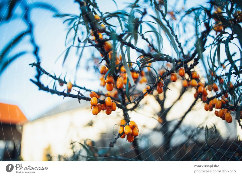 Sea buckthorn beautiful beauty blaze of color bloom blossom bokeh bright brown bunch closeup colorful colors colour countryside fantasy flora floral florescence