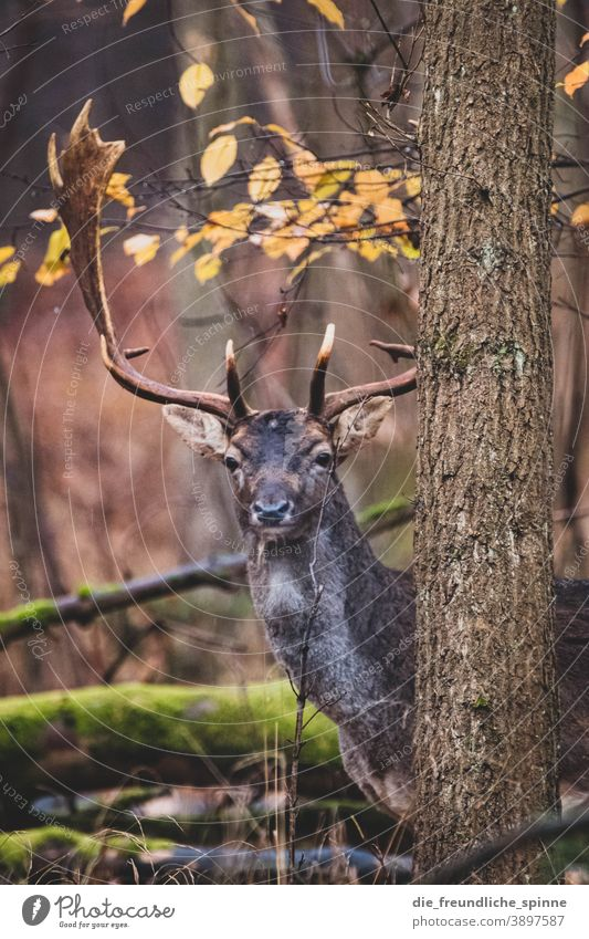Deer in the forest stag Roe deer Wild Fallow deer Forest Animal Exterior shot Wild animal Nature Colour photo Animal portrait Day Mammal Grass Deserted Hunting