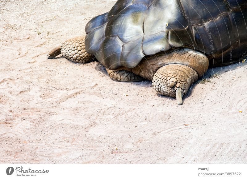 """The giant tortoise said to himself, """"Let's get out of here. Giant tortoise Turtle Animal Hind quarters Reptiles Tortoise-shell Legs Armor-plated safeguarded"""