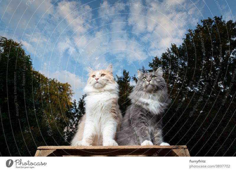 two maine coon cats sitting outdoors side by side longhair cat nature front or backyard garden elevated viewpoint looking observing low angle view two animals
