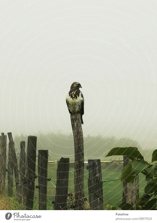 He pretends to be the wooden stake - or a buzzard sits on a wooden stake in a pasture Hawk Bird Bird of prey Animal Nature Exterior shot Feather Sky Beak Wild