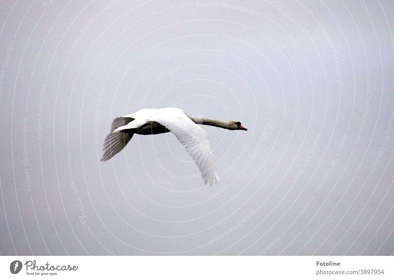 A swan flies elegantly through the air Swan Animal Bird White Feather pretty Beak Neck Elegant Nature Esthetic Exterior shot Grand piano Colour photo Head Day