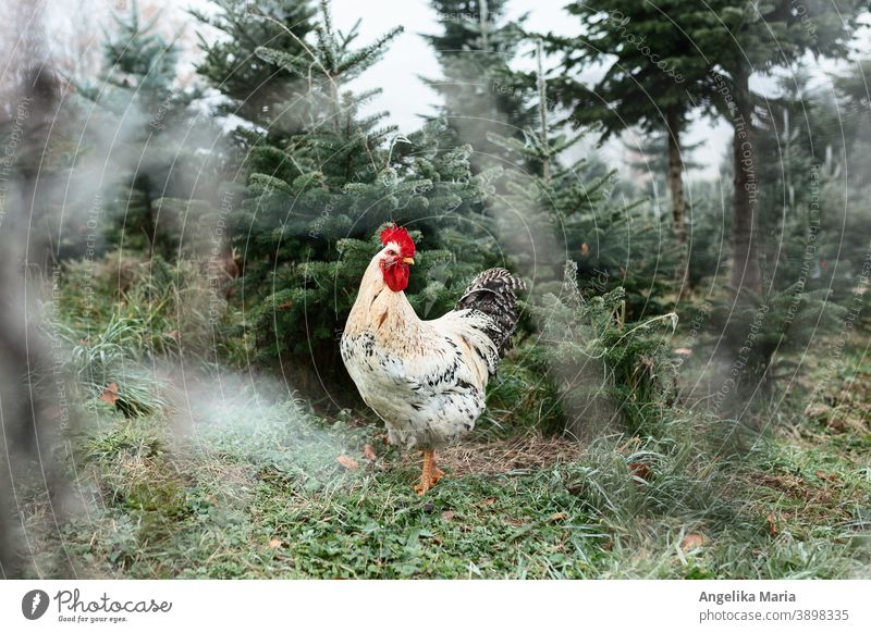 Cock in free range in a fir tree plant in winter Rooster Free-range rearing outdoor enclosure free-range chicken Keeping of animals Agriculture fir trees
