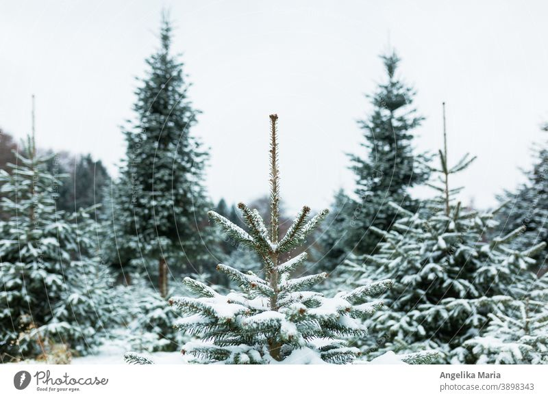 Freshly snowed-in Christmas tree plantation in Central Europe with Nordmann firs, one fir in the middle in focus, in the background fir trees in the blur