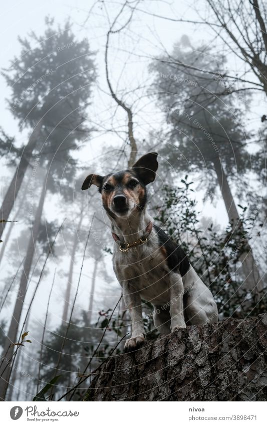 Jack Russell Terrier sitting on a tree trunk Jack Russell terrier jack russell Dog tree trunks Sit Forest Autumn Neckband Pet Animal Brown Cute Delightful