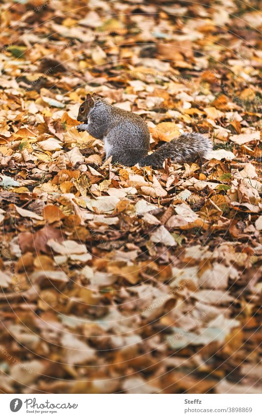 Squirrel camouflaged in autumn leaves on an autumn meadow November November papers Autumn leaves frisky autumn warmth Snapshot autumn picture grey squirrel