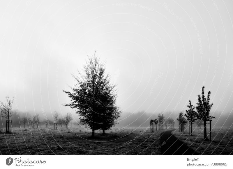 Young chestnut trees in the fog Central perspective Deserted Day Exterior shot Black & white photo White Free Looking Tree Nature Environment Plant Landscape