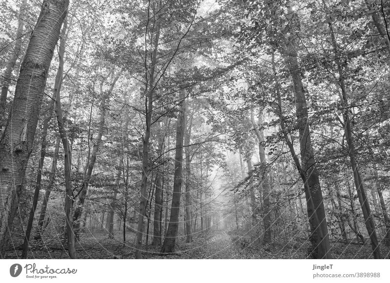 forest mist Forest Fog Misty atmosphere black-and-white Black and white photography trees branches Sky leaves Autumn Autumnal Gray Lanes & trails