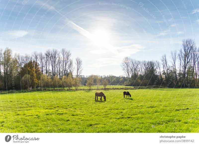 Horses on pasture in back light Willow tree paddock Meadow Back-light To feed Animal Grass Nature Landscape Deserted Green Field Sunlight Environment Brown