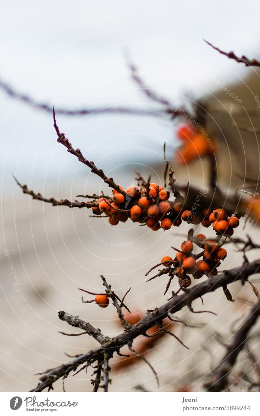 Ripe sea buckthorn on a cold winter's day on the beach of the Baltic Sea Sallow thorn Fruit Red Orange salubriously Vitamin Vitamin C Food Healthy Fresh