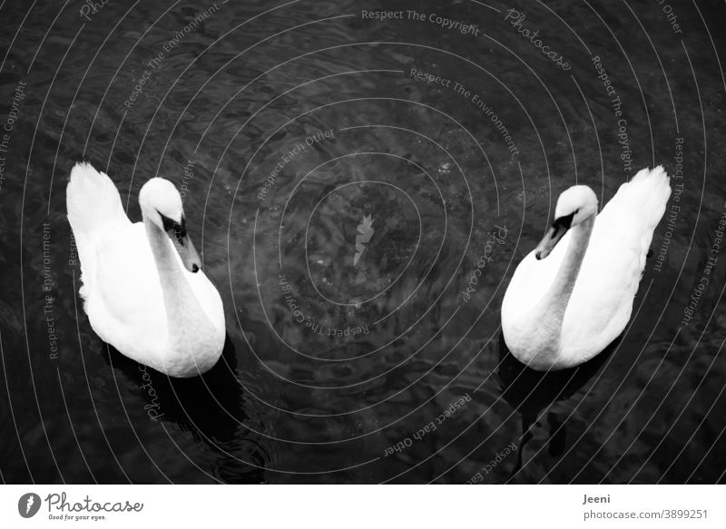 Two swans swimming symmetrically in the water Swan Symmetry Water be afloat Float in the water Lake Ocean Baltic Sea bank coast from on high Bird White Feather