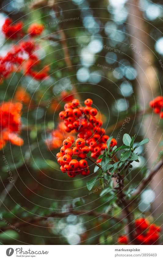 Rowanberry beautiful beauty blaze of color bloom blossom bokeh bright brown bunch closeup colorful colors colour countryside fantasy flora floral florescence