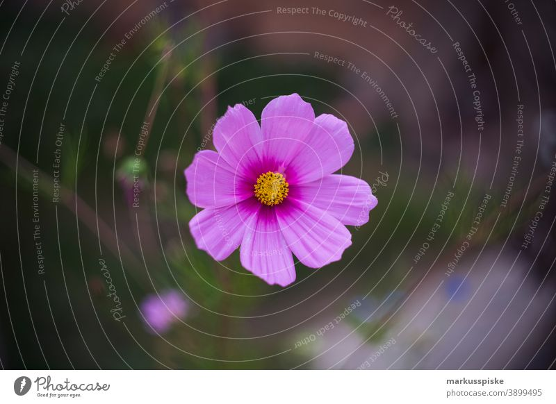 Home Garden Pink Flower beautiful beauty blaze of color bloom blossom bokeh bright brown bunch closeup colorful colors colour countryside fantasy flora floral
