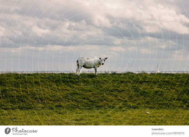 sheep Dike vacation North Sea Meadow Green Sheep Summer