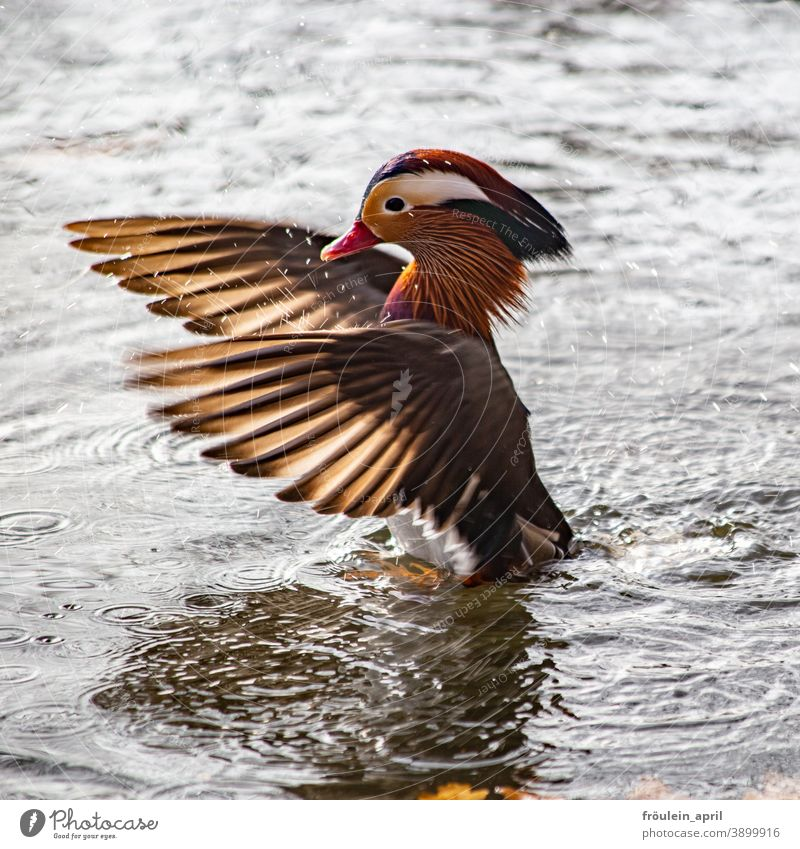 Wings - Mandarin drake Bird Duck Drake Mandarin duck Grand piano Poultry feathers Animal Colour photo Nature Exterior shot Feather Beak Deserted Wild animal
