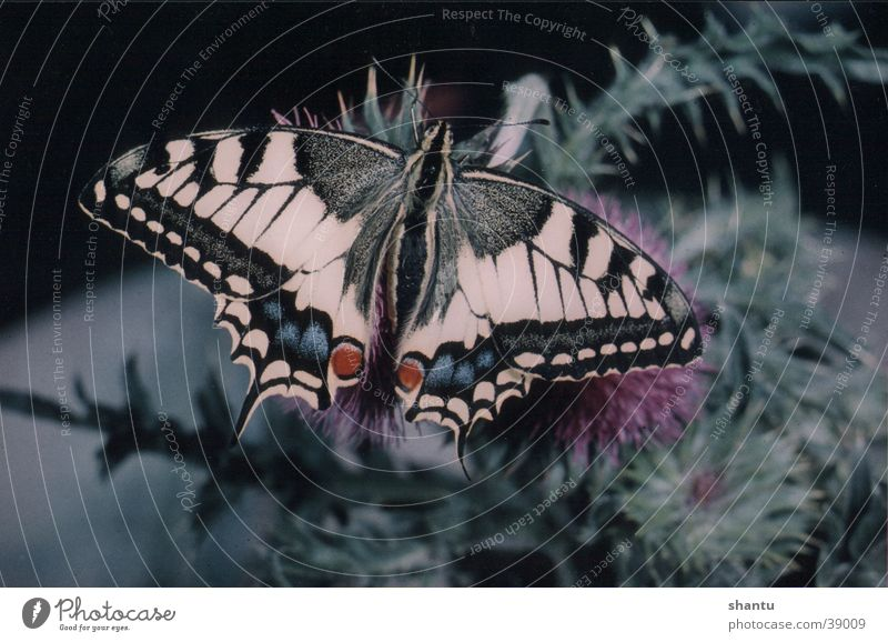 Nature Animal Insect Butterfly Swallowtail