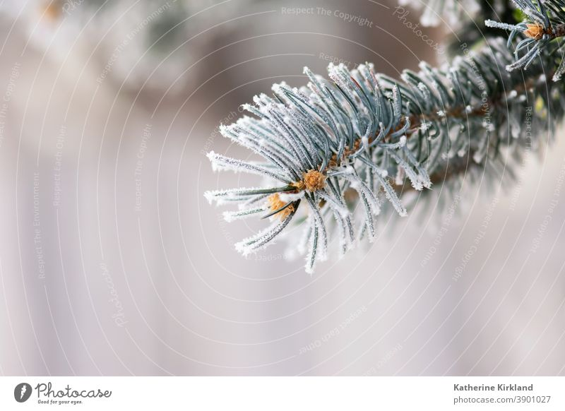 Frost On Blue Spruce Needles snow ice cold winter pine spruce fir evergreen white blue season seasonal Christmas holiday needle tree forest woods woodland