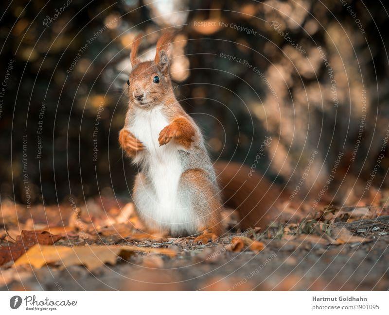 Nahaufnahme von einem aufrecht sitzenden rotbraunen Eichhörnchen das auf dem Waldboden sitzt und in die Kamera blickt. Tier rotes Eichhörnchen Nagetier Hörnchen