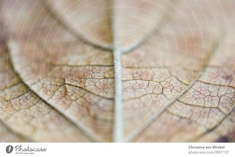 Macro photograph of the symmetrical structures on the underside of a faded autumn leaf with very shallow depth of field Leaf foliage leaf ribs Leaf structures