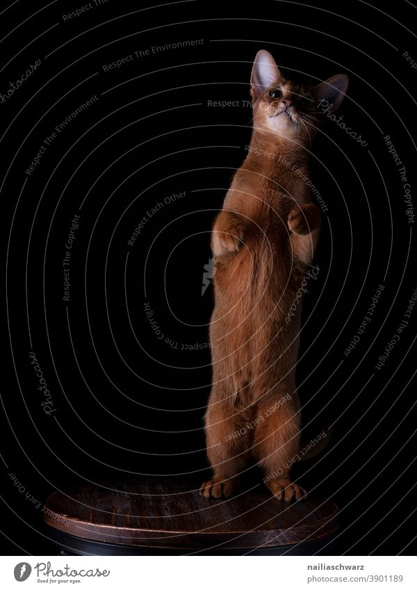 Abyssinian cat red hair Red black background Abyssinian cats Contentment Happiness Idyll Interior shot Elegant Lifestyle Pet Love of animals Animal face Soft