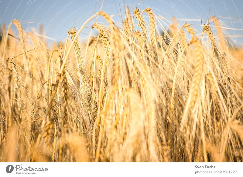 Grain field in the light of the setting sun Rye resource Agriculture Straw Sustainability food food products Wheat Field Harvest Sky Summer Farm Nature Plant