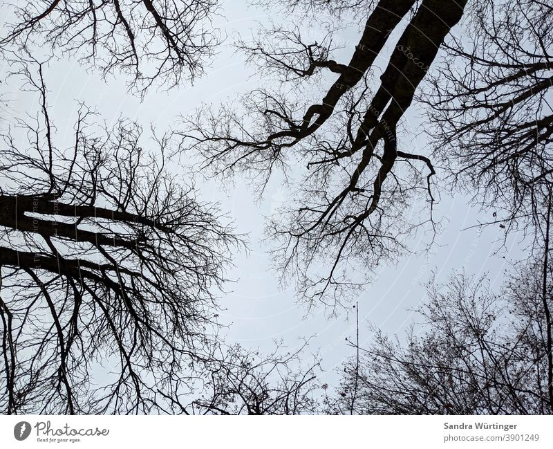 Bare treetops in winter before a blue sky Winter Winter mood Tree Treetop Sparse Bleak bare trees Sky Blue Sky blue Pattern Upward Forest out Nature