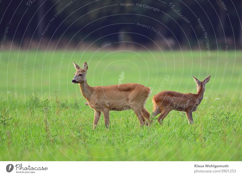 Doe and fawn watch the surroundings carefully Roe deer Female deer Forest Meadow Grass Pelt Summer Hunting Colour photo Deserted secure sb./sth. Evening