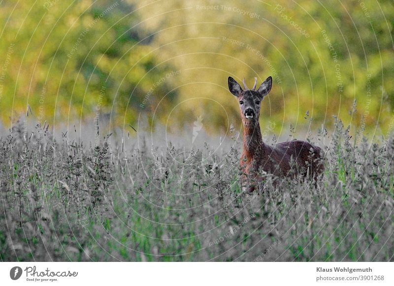 Young roebuck in a forest meadow has discovered the photographer. Roe deer reindeer buck Hunting Meadow Summer Deserted Brown Green Gray Grass horns Pelt