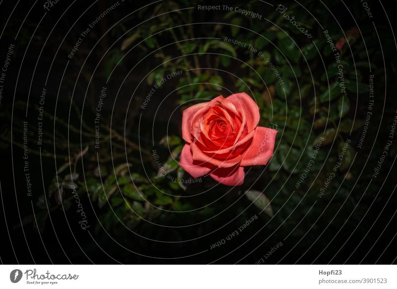 Red Rose pink Flower Plant Blossom Pink Colour photo Exterior shot pretty Deserted Fragrance Close-up Blossoming Nature Shallow depth of field Romance Garden