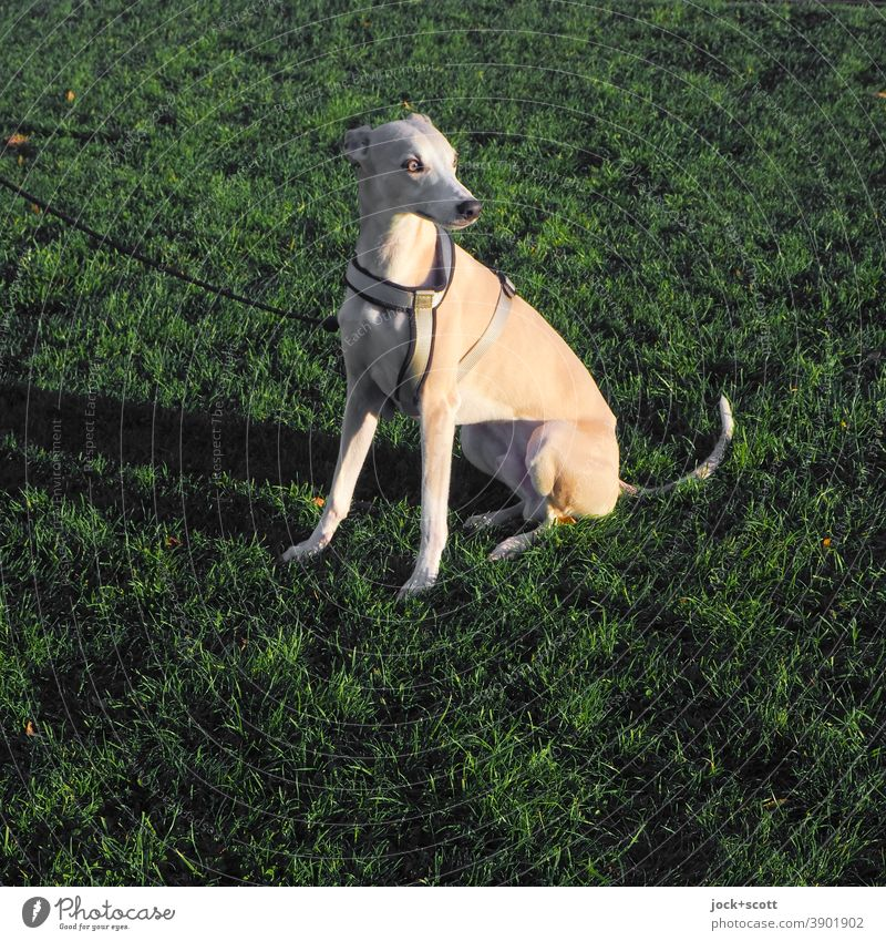 Principle greyhound Elegant Greyhound Pet 1 Animal Body tension Animal portrait Whippet Dog Purebred dog Companion Watchfulness Meadow dog harness Leashed