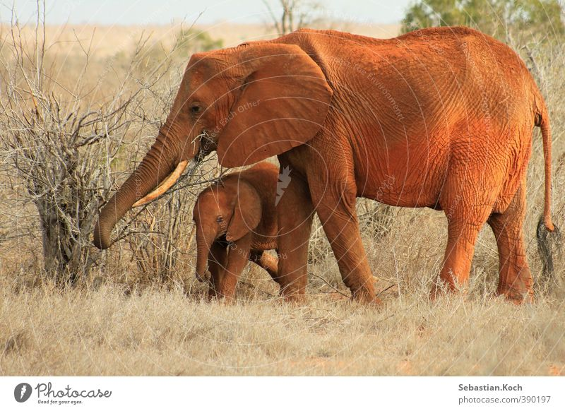 Mother and Son Nature Plant Animal Sand Drought Grass Bushes Africa Desert Savannah Kenya National Park Steppe Farm animal Wild animal Animal face Elephant