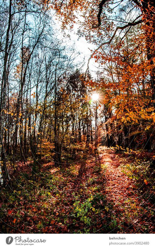 Bright autumn falling leaves Sunlight Contrast Light Exterior shot Colour photo Footpath pretty Fantastic Forest Bushes Leaf Tree Plant Autumn Landscape Nature