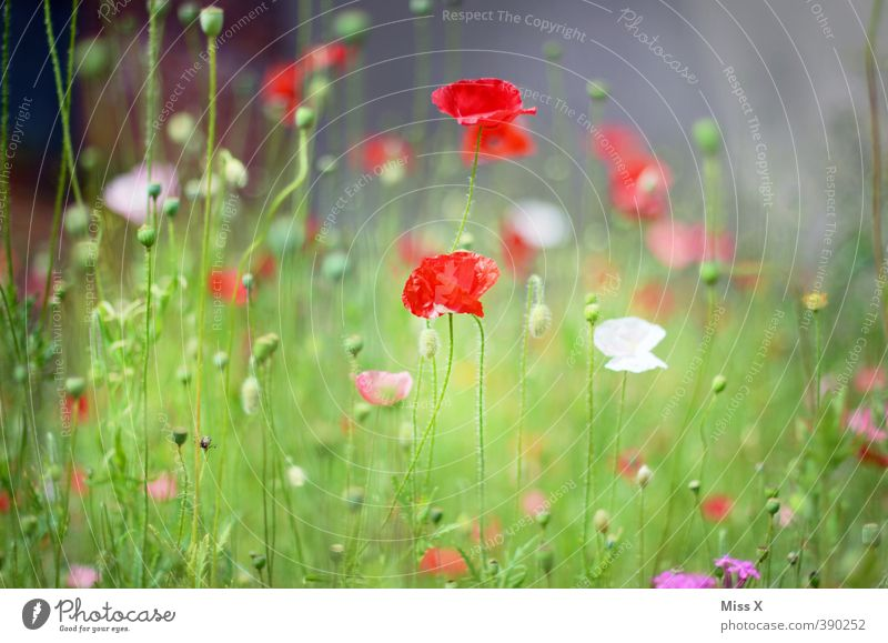 Summer Flower Meadow Grass Spring Blossom Moody Field Growth Blossoming Poppy Fragrance Faded Poppy field Poppy blossom Poppy capsule