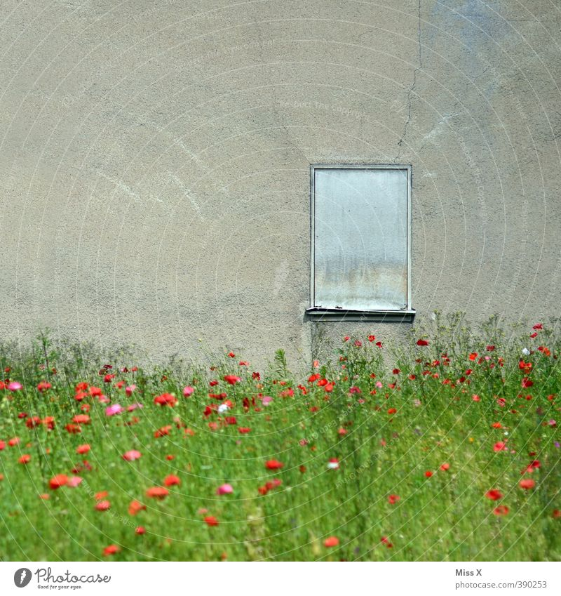 poppy field Flower Garden Deserted Ruin Wall (barrier) Wall (building) Window Blossoming Old Wild Decline Transience Uninhabited wild garden Feral Overgrown